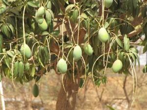 Mangobaum mit Früchten