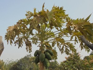 Papayastrauch in Burkina