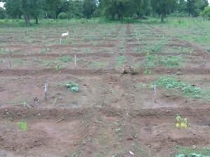 Feld mit Papayasetzlingen