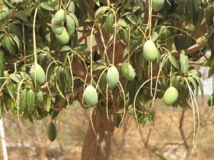 Mangos am Baum