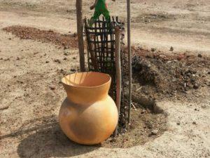 Mangobaumsetzling mit Tonkrug