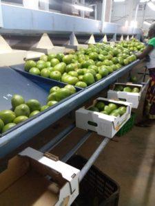 Mangosortierung- und verpackung in Bobo