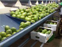 Mangos werden in Kisten gepackt