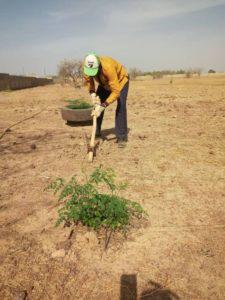 Moringabaum Pflanzung
