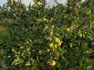 Mandarinen-Bäume mit Früchten