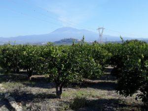 Mandarinen Plantage mit Vulkan Ätna