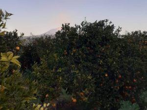 Tarocco-Orangen Plantage auf Sizilien