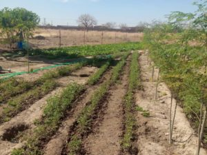Gemüse wächst heran